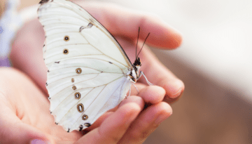 The Mysteries of the White Butterfly – What it means around the world and its spiritual symbolism and meaning